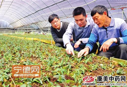 蕉城推广种植名贵中药材铁皮石斛-康美中药网