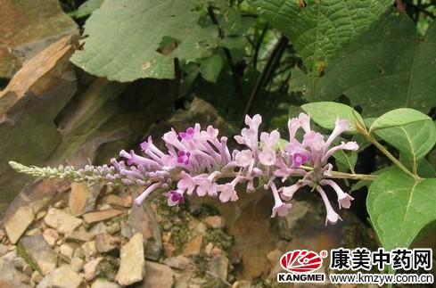 密蒙花为马钱科植物密蒙花的干燥花蕾