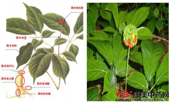 西洋参原植物形态图