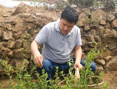 采访山东金银花种植户和专营商