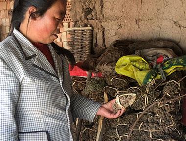 渭源县瓦楼村当归种植户采访